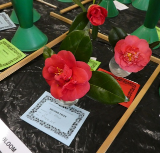 Wigginton Camellias