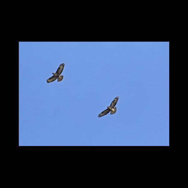Two Buzzards Circling